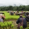 Rice farmers work near the site of the proposed Hatgyi dam on the Salween River.