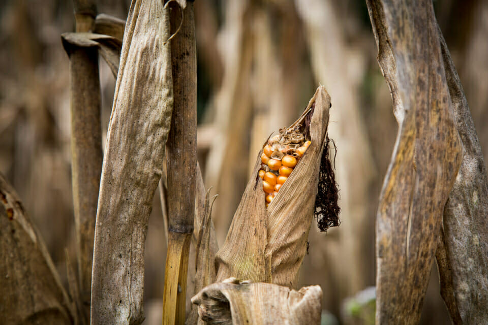 Corn fields in Mae Sa Village. The community is struggling with many problems resulting from contract farming: environmental impacts of chemicals and genetically modified seeds, over-exploitation of the land, deforestation and indebtedness.