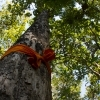 During this ceremony every participant places an orange ribbon on the tree in order to bless and protect the forest.