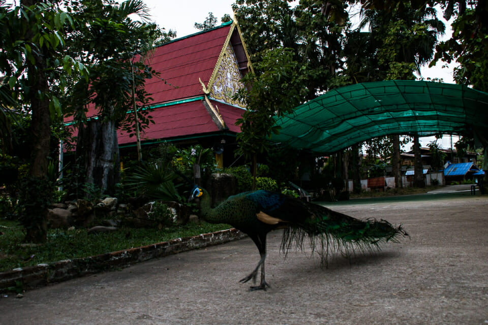 Peacocks are endangered species in the Kaeng Sua Ten area. To protect these animals the monastery in the village adopts the animals and cares for them.